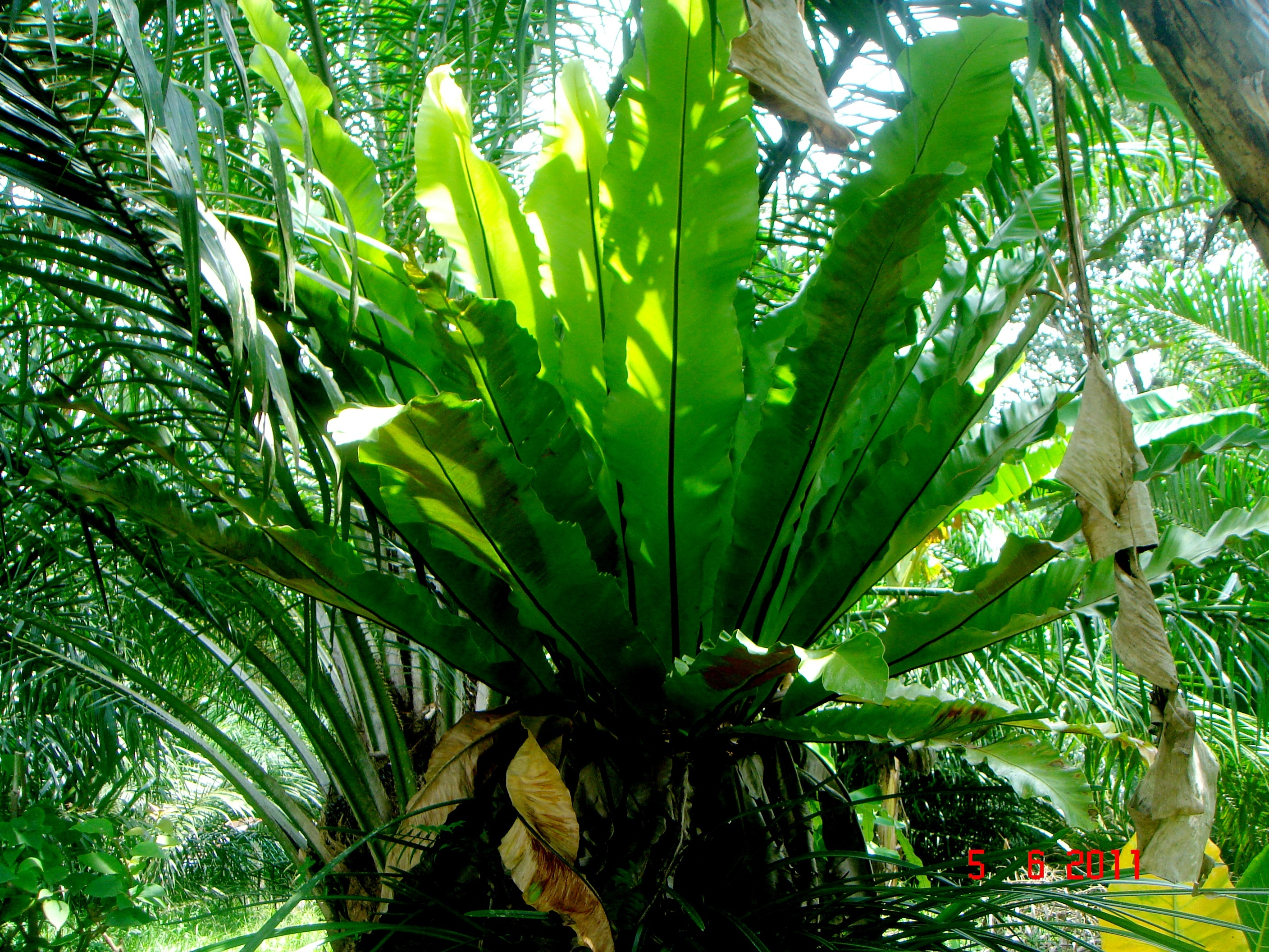 Image of Hawai'I birdnest fern