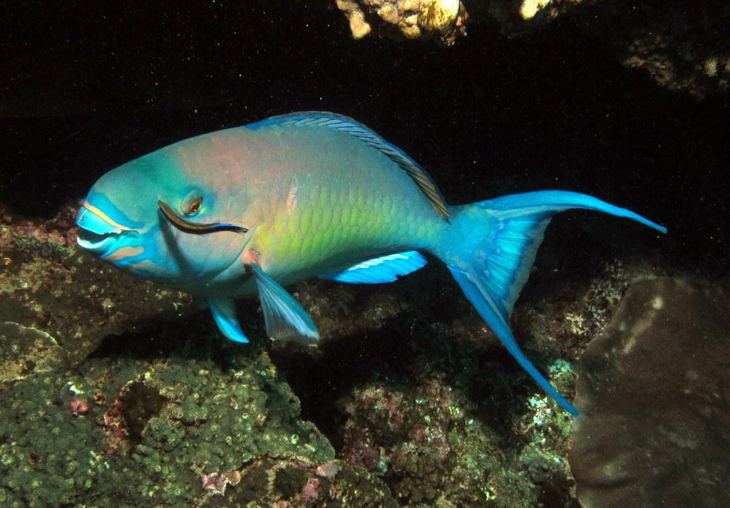 Image of Bicolor Parrotfish