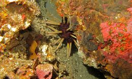 Image of Imperial urchin