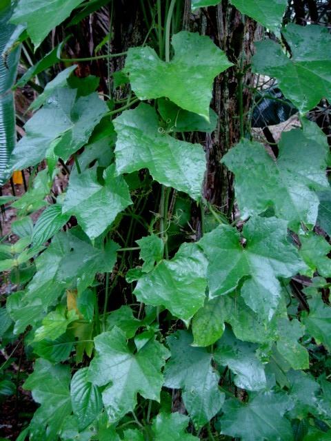 Image of climbing okra