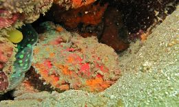 Image of Stonefish