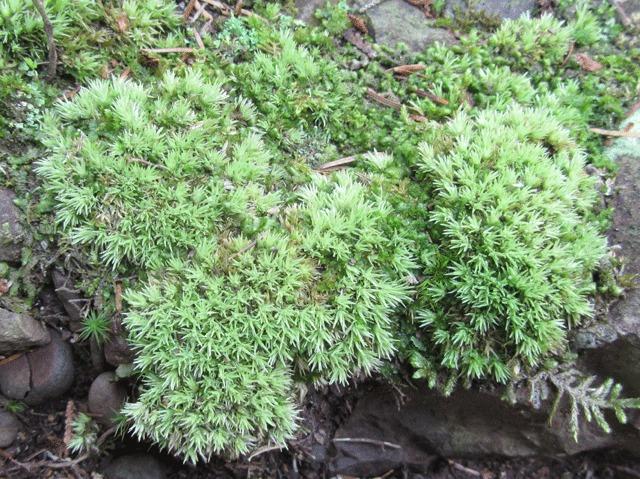 Image of dicranella moss