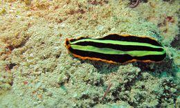 Image of Flatworm