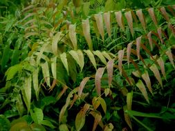 Image of <i>Stenochlaena palustris</i> (Burm. fil.) Bedd.