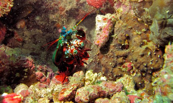 Image of Peacock Mantis Shrimp