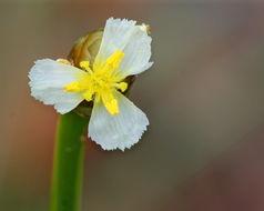 Image of Carolina yelloweyed grass