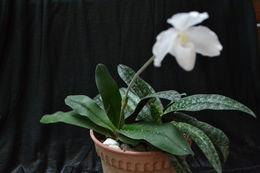 Image of Snow-white Paphiopedilum