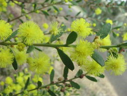 Image of gold-dust acacia