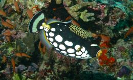 Image of clown triggerfish