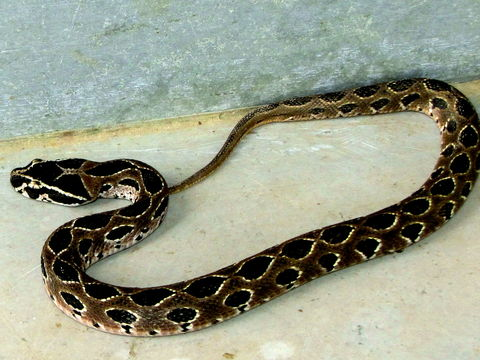Image of Russell's Viper