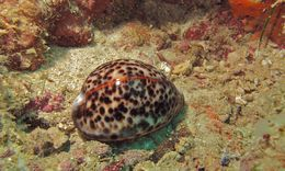 Image of tiger cowrie