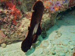 Image of Longfin batfish