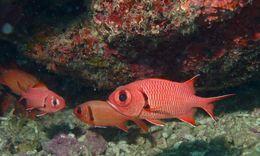Image of Epaulette soldierfish