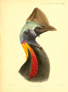 Image of Northern Cassowary