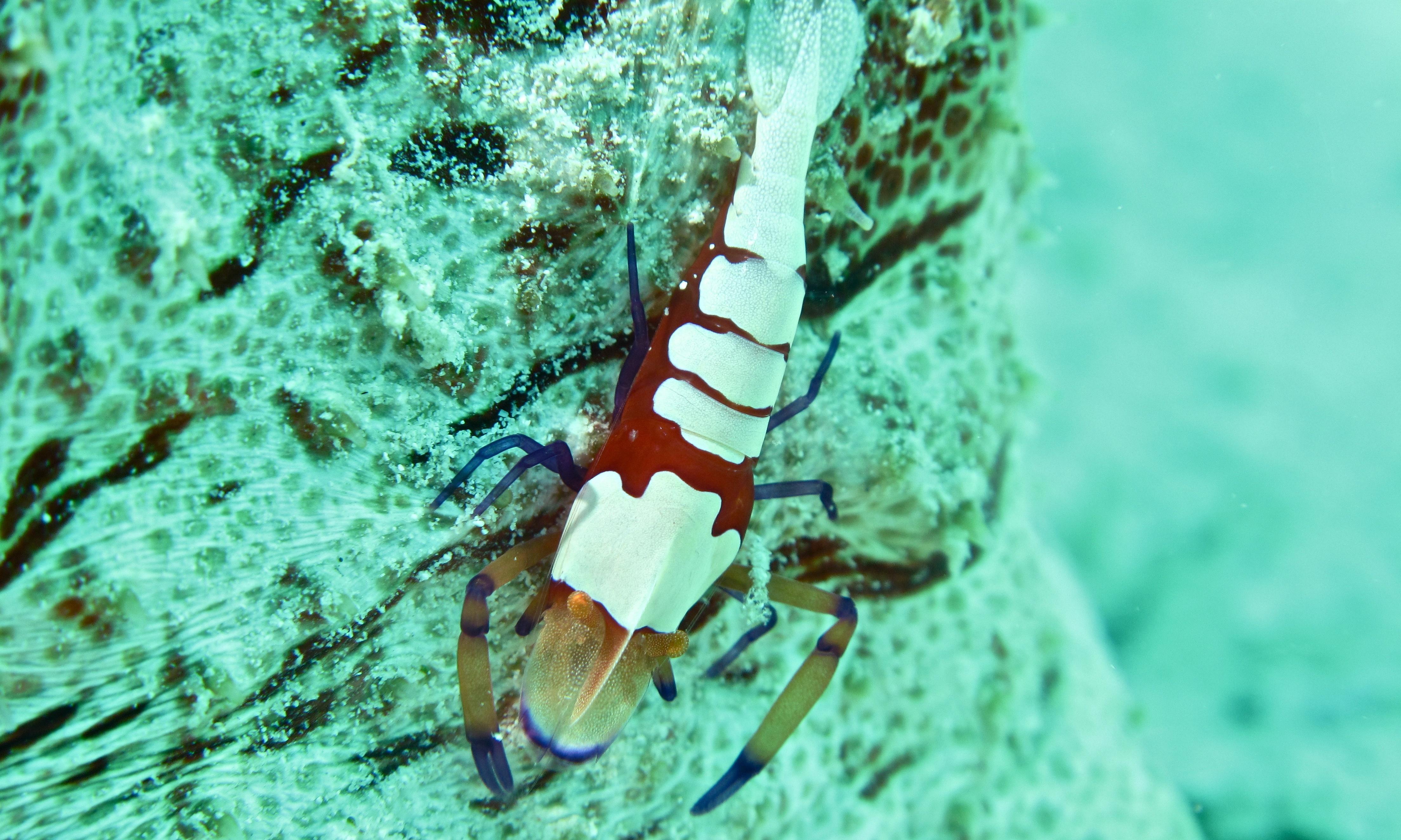 Image of Emperor shrimp