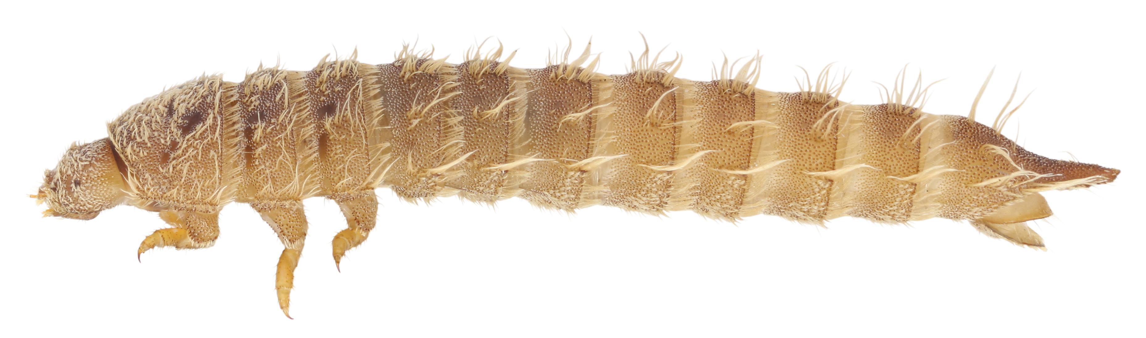 Image of <i>Drupeus vittipennis</i> Lewis 1895