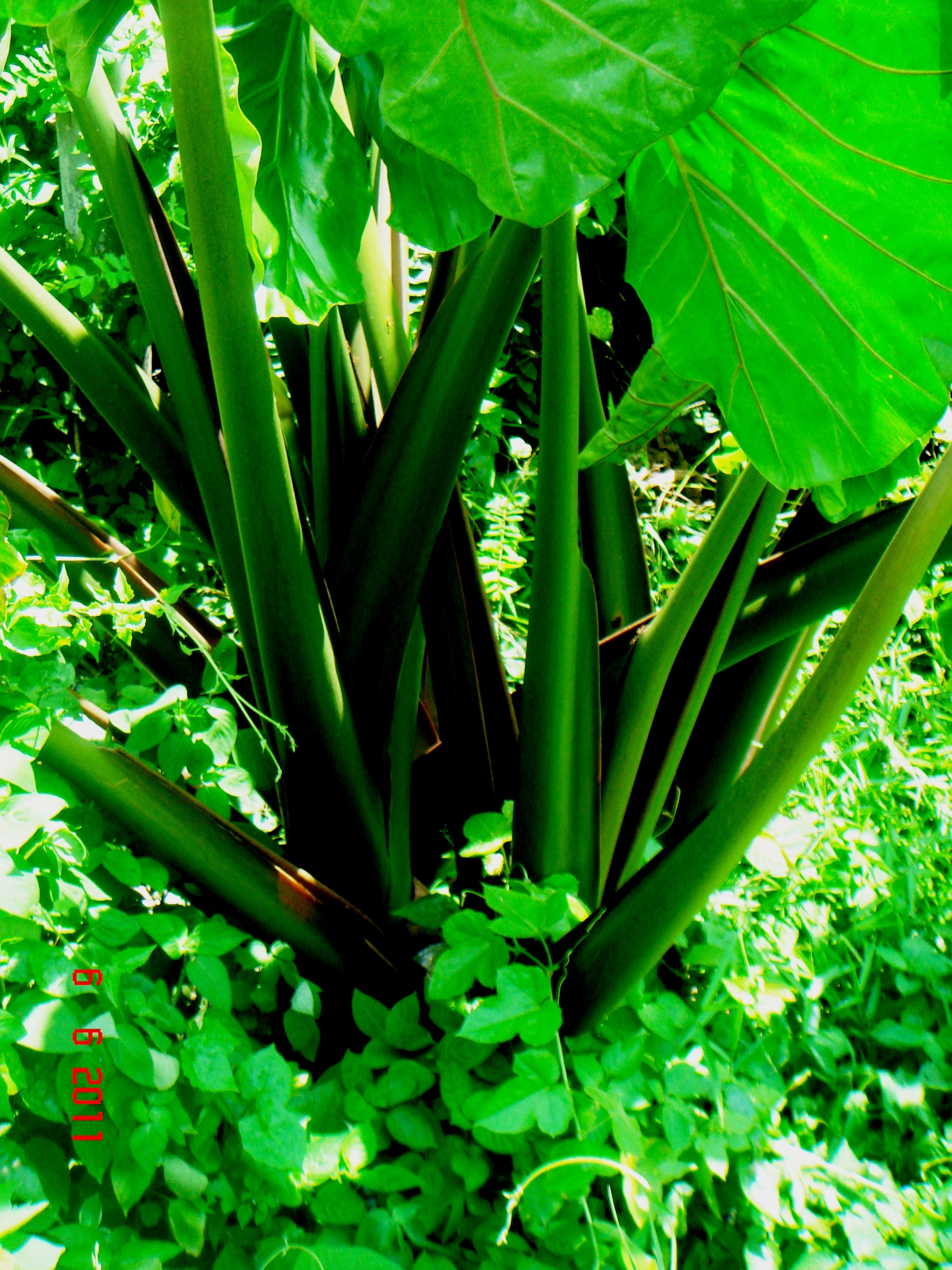 Image of giant taro