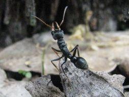 Image of Jack jumper ant