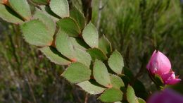 Image of Australian Native Rose