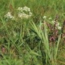 Image of <i>Odontites vulgaris</i>