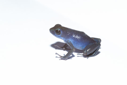 Image of Strawberry Poison-dart Frog