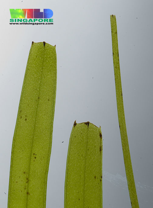 صورة <i>Halodule uninervis</i> (Forssk.) Boiss.