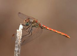 Image of Desert Darter