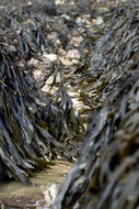 Image of Toothed Wrack