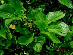 Image of <i>Typhonium trilobatum</i> (L.) Schott