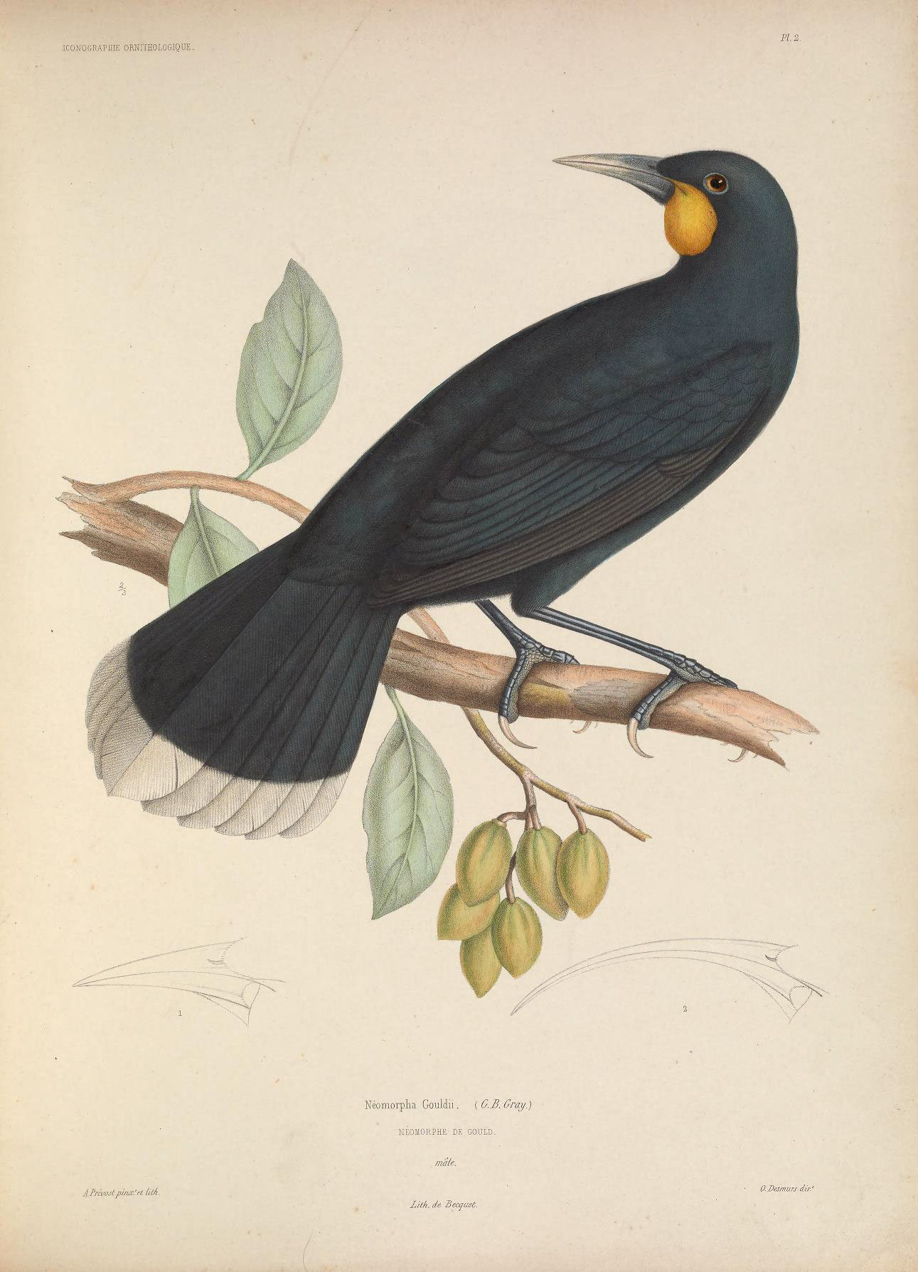 Image of Huia