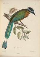 صورة <i>Momotus lessonii</i> Lesson & R 1842