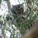 Image of koalas