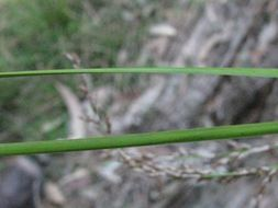 Image of <i>Lepidosperma laterale</i> R. Br.