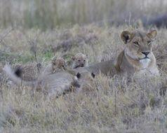 Image of Katanga lion