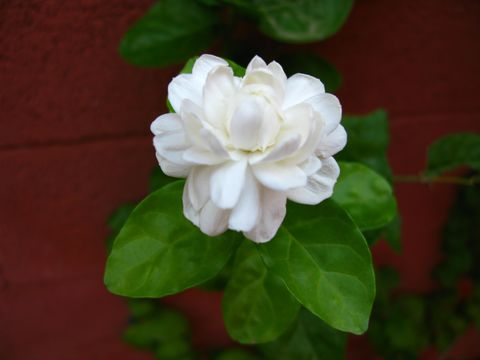 Image of Arabian jasmine