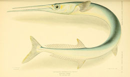 Image of Hound Needlefish