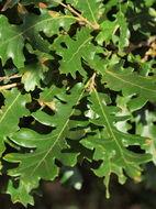 Image of European turkey oak
