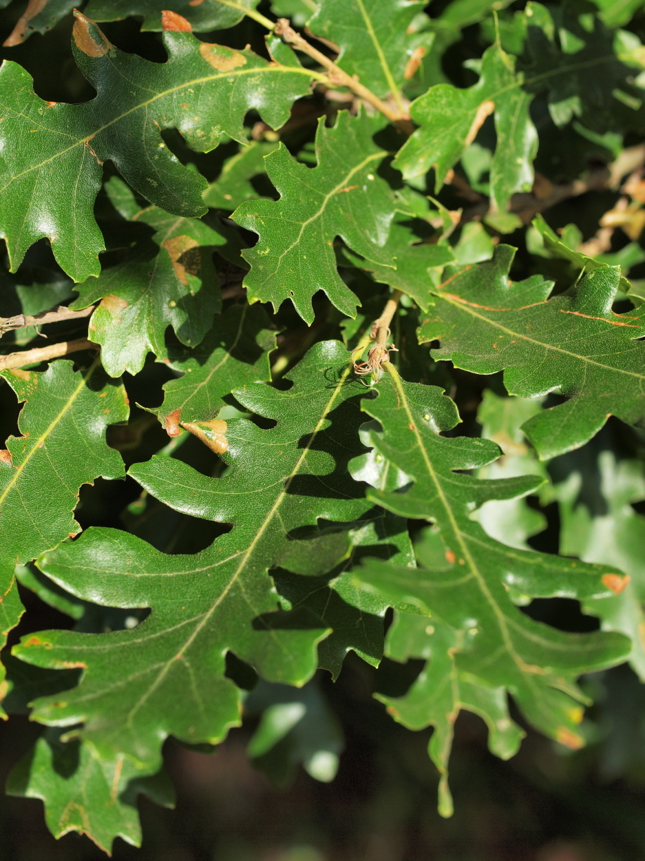 Image of turkey oak
