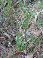 Image of common woodrush