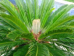 Image of Fern Palm