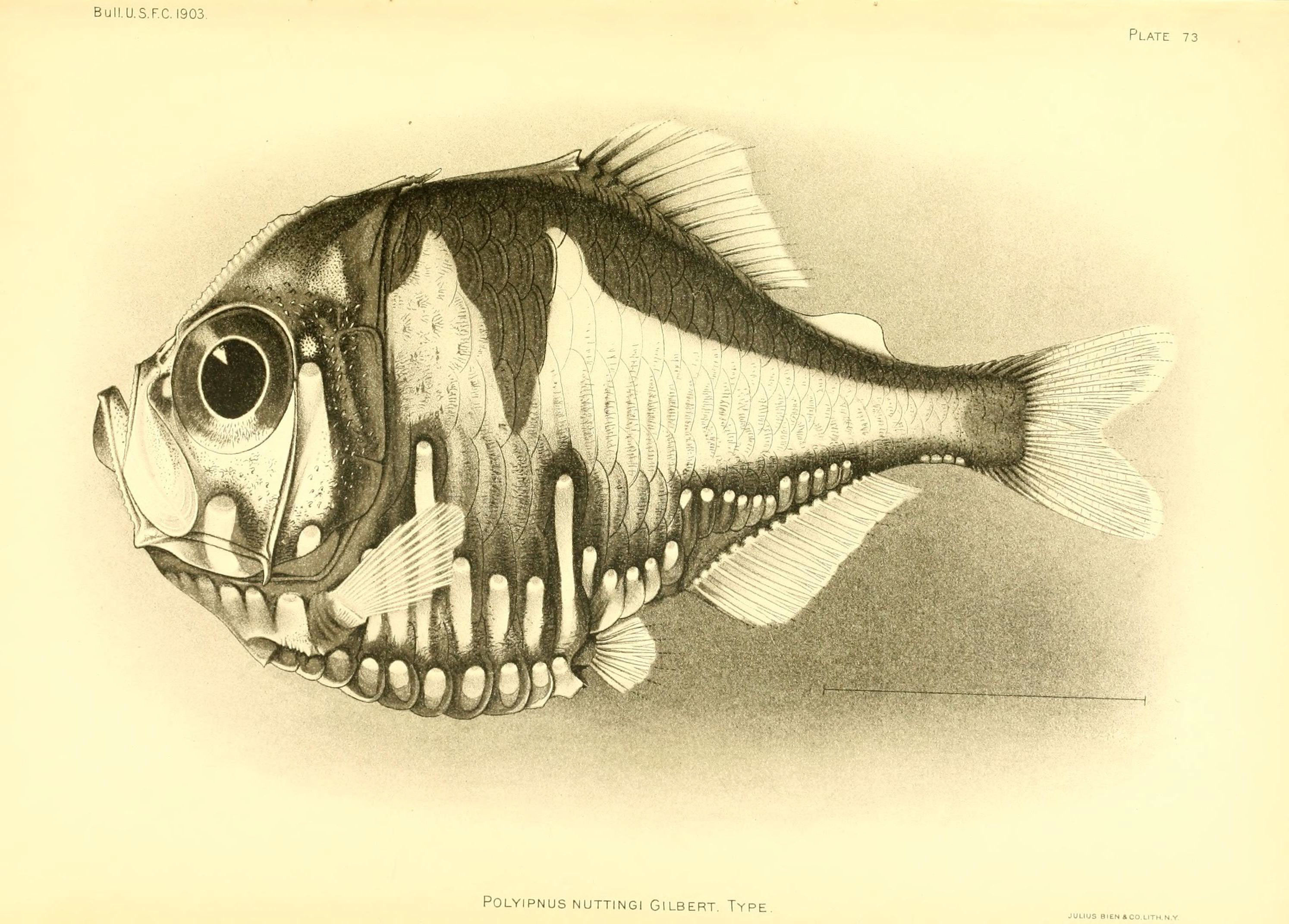 Image of <i>Polyipnus nuttingi</i> Gilbert 1905