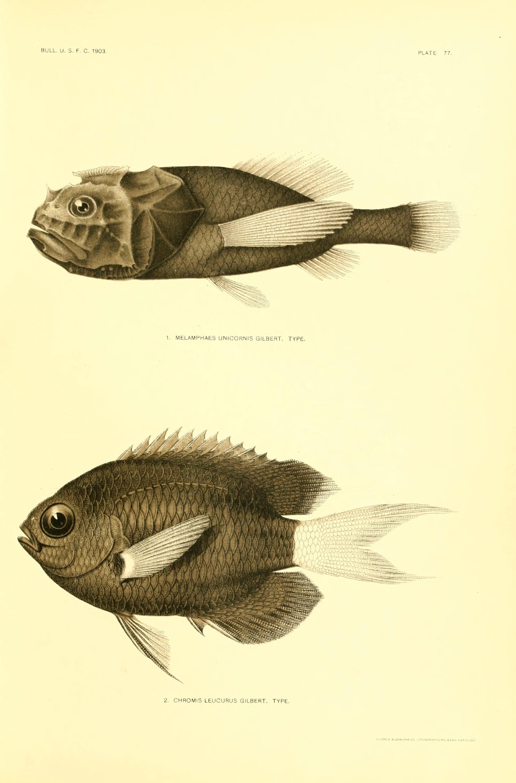 Image of <i>Poromitra unicornis</i> (Gilbert 1905)