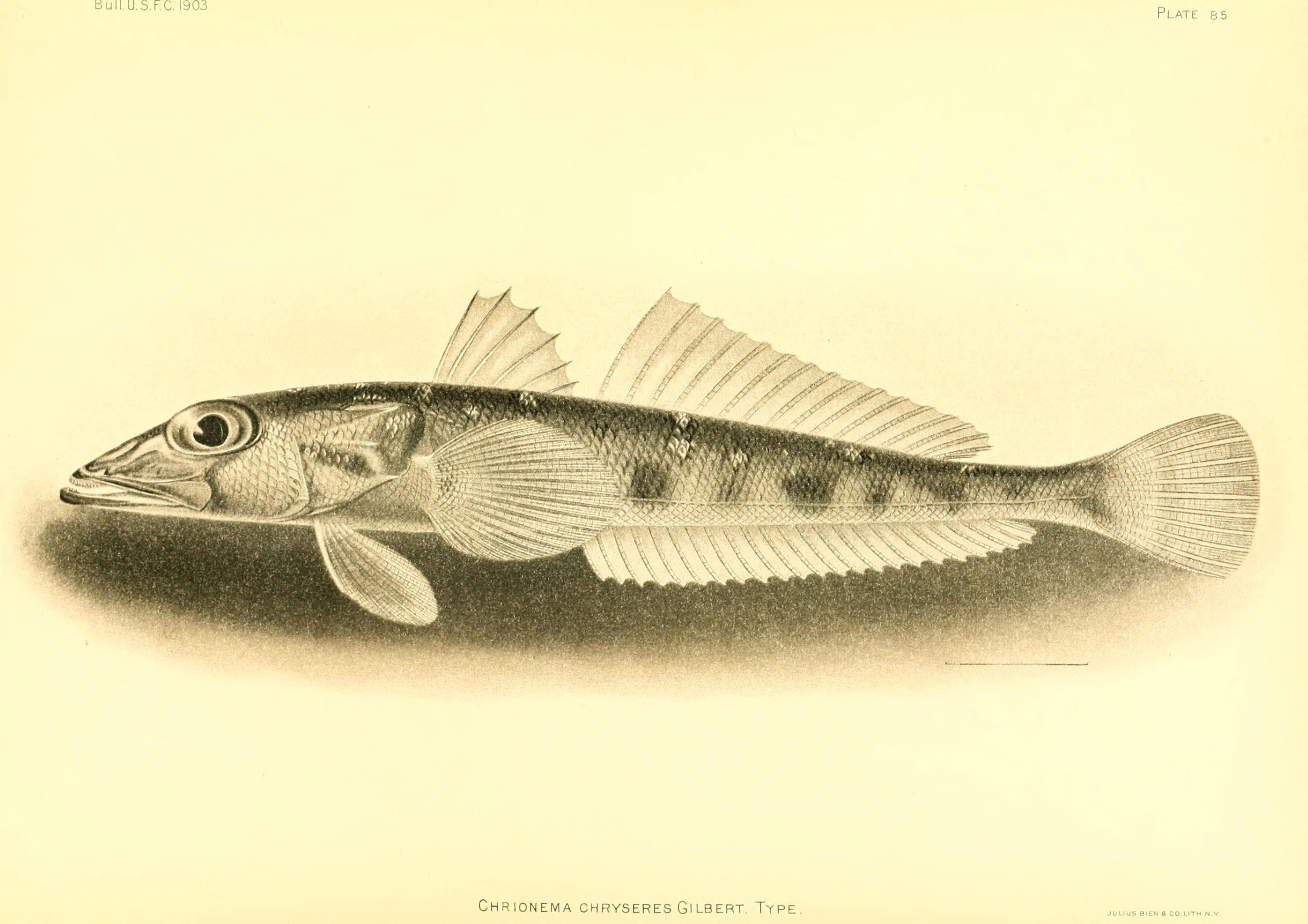 Image of Grubfish