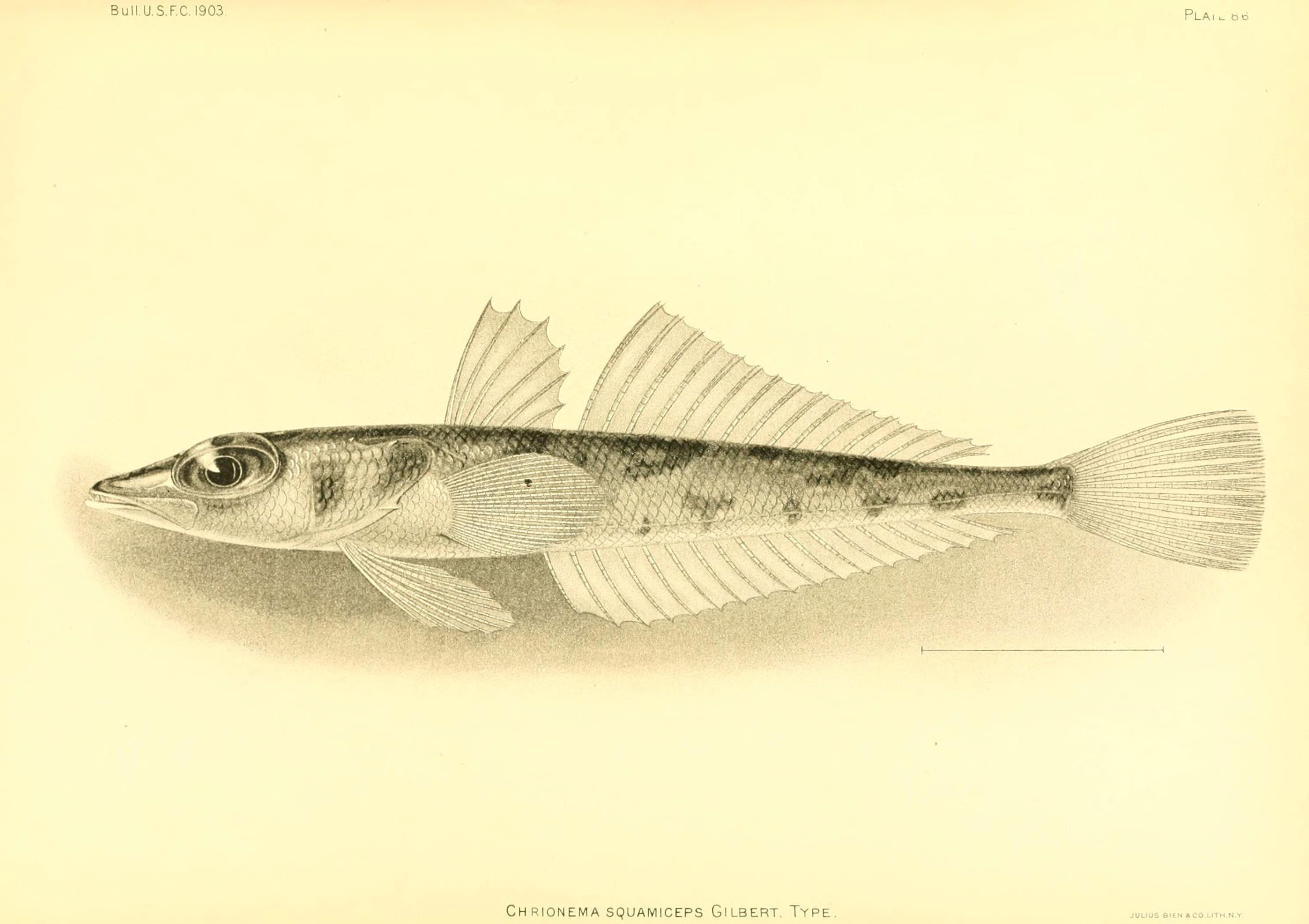 Image of <i>Chrionema squamiceps</i> Gilbert 1905