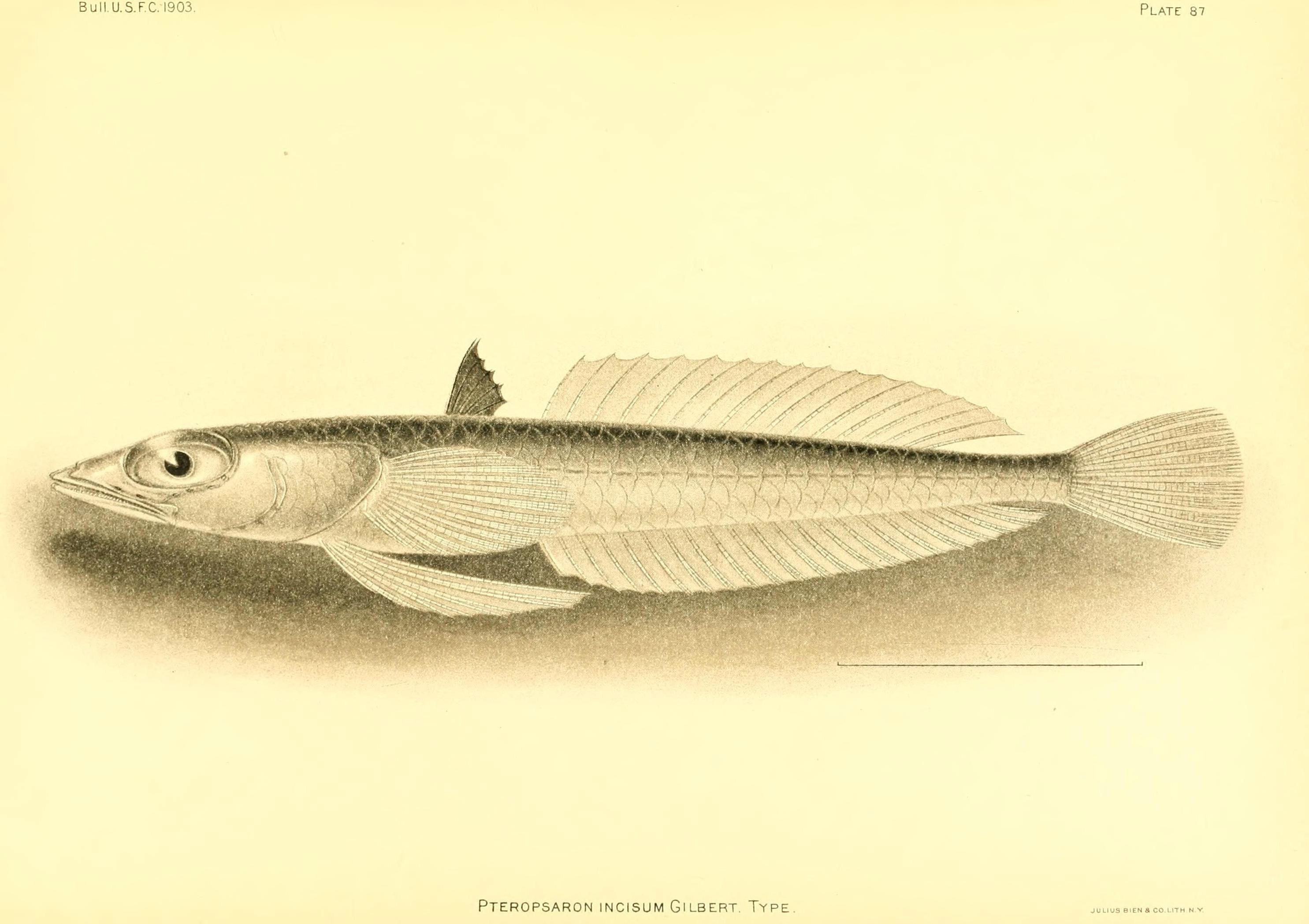 Image of <i>Pteropsaron incisum</i> Gilbert 1905
