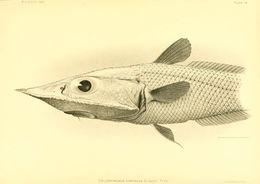 Image of <i>Coelorinchus doryssus</i> Gilbert 1905