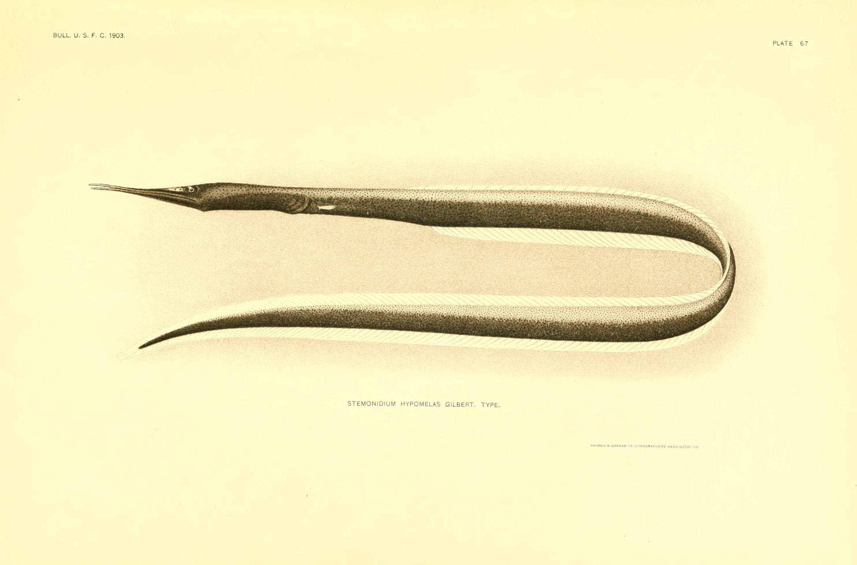 Image of Black Serrivomerid Eel