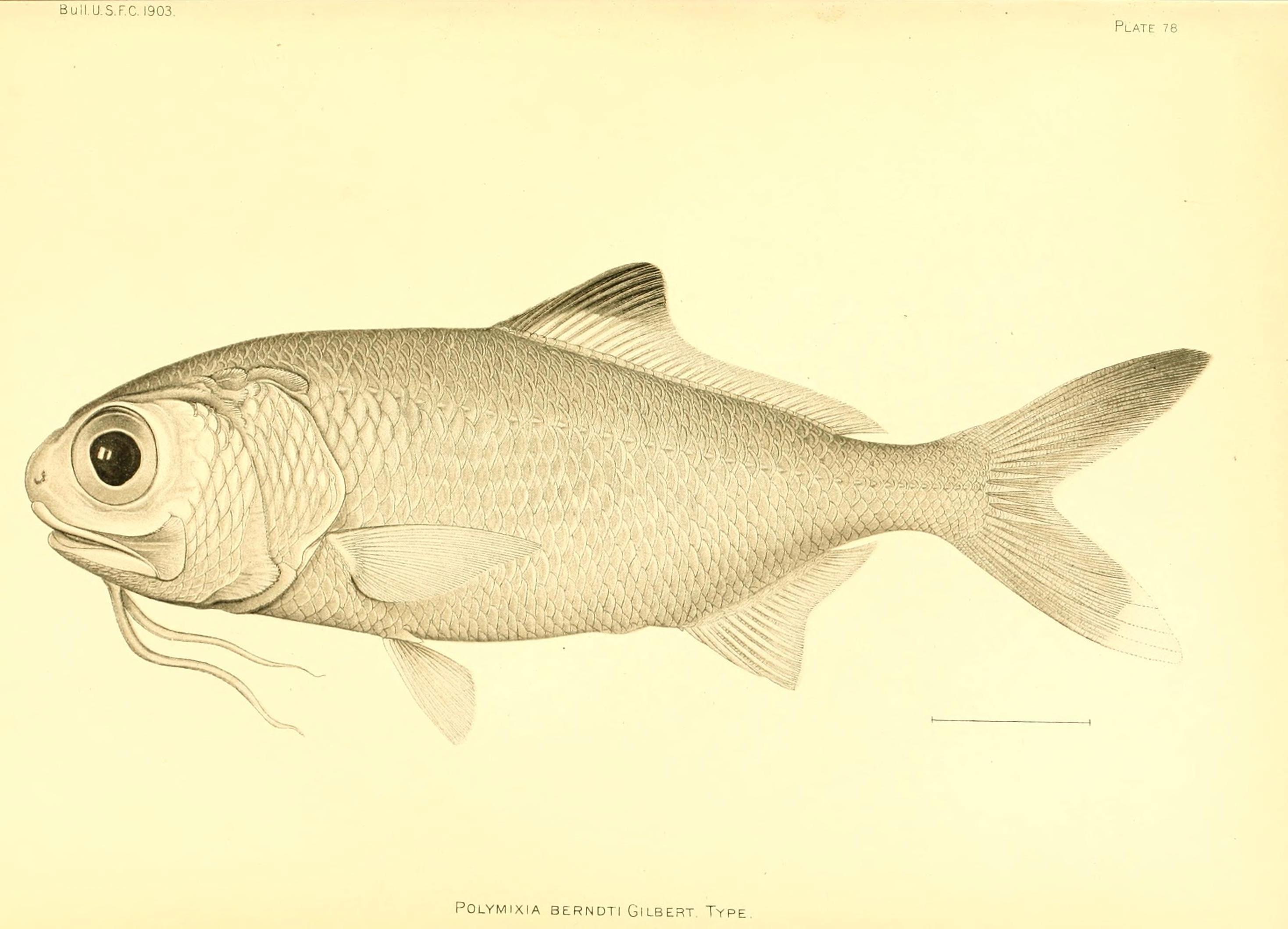 Image of Beardfish