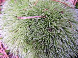 Image of leucobryum moss