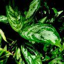 Image of Philippine evergreen